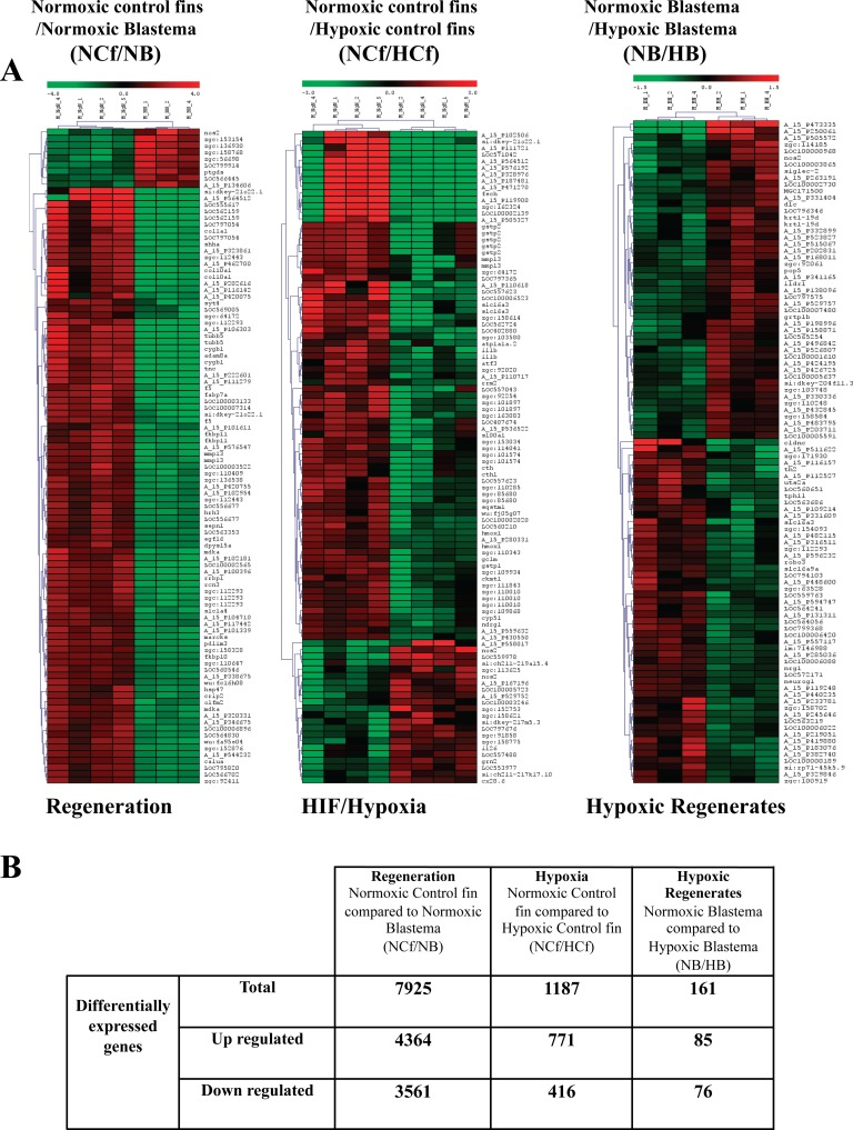 Analysis of differentially regulated genes during regeneration and/or HIF induction A. Cluster and heat map analysis. Genes that were differentially expressed during regeneration under normoxic control conditions were obtained through comparison of genes expressed in normoxic control fins (NCf) and genes expressed in normoxic control regenerated area (blastema) (NB) after 3 dpa. Genes that were differentially expressed during HIF induction were derived from the comparison of genes expressed in normoxic control fins (NCf) and genes expressed in CoCl 2 -treated control fins (HCf). Genes that were differentially expressed in CoCl 2 regenerates were obtained through comparison of genes expressed in control normoxic blastema (NB) and genes expressed in CoCl 2 -treated blastema (HB). The heat map indicates the level of genes expression and expressed as log 2 (green is a decrease and red an increase relative to control). The color scale is shown at the top. B. Summary of number of up-regulated and down-regulated genes during regeneration, HIF induction or both obtained by microarray analysis.