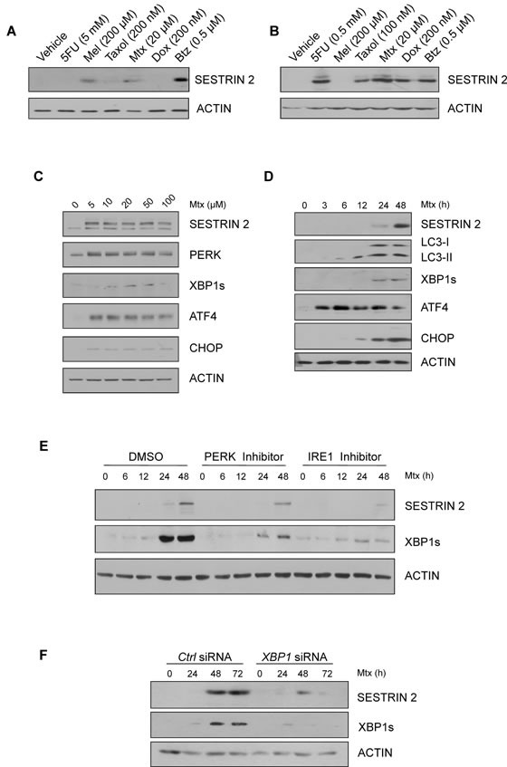 Chemotherapeutics, Methotrexate and Bortezomib, induce ER stress and SESTRIN 2 expression via UPR-mediated signals A.-B. HCC1806 (A) and MCF7 (B) cells were treated with 5 mM (A) 0.5 mM (B) 5-fluorouracil (5FU), 200 μM melphalan (Mel), 200 nM (A) 100 nM (B) Taxol, 20 μM Methotrexate (Mtx), 200 nM Doxorubicin, 0.5 μM Bortezomib (Btz) for 24 h and lysates immunoblotted for SESTRIN 2 and ACTIN. C. HCC1806 cells were treated with the indicated concentrations of Mtx for 48 h and lysates immunoblotted for SESTRIN 2, PERK, XBP1s, ATF4, CHOP and ACTIN. D. HCC1806 cells were treated with 20 μM Mtx for the indicated time and lysates immunoblotted for SESTRIN 2, LC3-I/II, XBP1s, ATF4, CHOP and ACTIN. E. HCC1806 cells were treated with 20 μM Mtx for the indicated time alone or in combination with 300 nM PERK or 10 μM IRE1 inhibitor and lysates were immunoblotted for SESTRIN 2, XBP1s and ACTIN. A representative image of 3 independent experiments is shown. F. Ctrl and XBP1 siRNA-transfected HCC1806 cells were treated with 20 μM Mtx for the indicated time and lysates immunoblotted for SESTRIN 2, XBP1s and ACTIN.