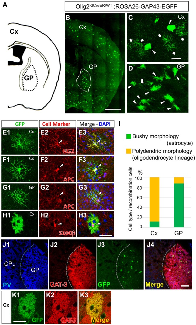 Olig2-lineage astrocytes are relatively abundant in the GP. (A) Diagram showing the GP and cortex (Cx) of a mouse coronal section (0.46 mm posterior to the bregma). (B) Low-magnification view of GFP-positive Olig2-lineage cells in Olig2 KICreER/WT ; ROSA26-GAP43-EGFP mice (the section is at the same level as that in A ). Olig2-lineage cells preferentially cluster in the GP (demarcated with a dotted white line). (C,D) Higher-magnification views of Olig2-lineage cells in the Cx (C) and the GP (D) . Arrows indicate cells with polydendric morphology and arrowheads indicate cells with bushy morphology. Note that bushy-type cells predominate in the GP, while polydendric-type cells do so in the Cx (see also I ). (E–H) Double immunofluorescence with cell marker antibodies shows that polydendric-type cells in the Cx are NG2 proteoglycan-positive ( E2 ; arrowhead, OPC/NG2 glia) or APC-positive ( F2 ; arrowhead, oligodendrocyte). The polydendric-type cells in the GP are also positive for APC ( G2 ; arrowhead, oligodendrocyte) and bushy-type cells in the cortex are S100β-positive ( H2 ; arrowhead, mature astrocyte). Scale bars: (B) 1 mm; (C) 30 μm (also for D ); (H) 30 μm (also for E–G ). (I) Quantitative analyses of Olig2-lineage cells in the Cx and the GP revealed that 88% of cells are polydendric-type (OPCs/NG2 glia or mature oligodendrocytes) in the Cx, while 87% are bushy-type (mature astrocytes) in the GP. (J) Lower-magnification views of a triple-immunolabeled section. The GP had many PV-positive (GABAergic) neurons (J1) , while the neighboring striatum showed fewer. The border between the two regions is indicated by a dotted line. The GP also expressed GAT-3 strongly (J2) . Olig2-lineage astrocytes were visualized by their GFP immunoreactivity (J3) , which co-localized with GAT-3. Panel (J4) is the merged image of (J1–J3). (K) An Olig2-lineage astrocyte in the cerebral cortex also expresses GAT-3. PV, parvalbumin; CPu; caudate-putamen; GP, globus pallidus. Scale bar: (J