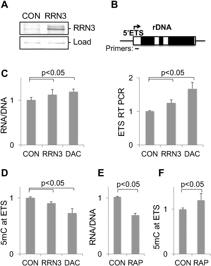 The effect of RRN3 gene over-expression on rDNA transcription. (A) HEK293 were transfected with RRN3 plasmid for two days ( RRN3 ), whole cell proteins were extracted and analyzed by Western method with RRN3 antibody. CON , cells transfected with empty plasmid. Load , a fragment of Ponceau S stained membrane. (B) Upper panel, gene position of primers used in qPCR. Graph shows results of RT qPCR analysis of RNA purified from transfected cells and from cells treated with 5 μM DAC for two days. ETS data were normalized to Lamc1 transcript levels. (C) RNA/DNA ratios were measured in the same cells. (D) MeDIP analysis of DNA purified from the same cells. The effect of rapamycin treatment (50 nM, 48 h) on (E) RNA/DNA ratio, and (F) DNA methylation in HEK293 cells. All data were normalized to CON levels, bars represent mean ± SD from at least three independent experiments.