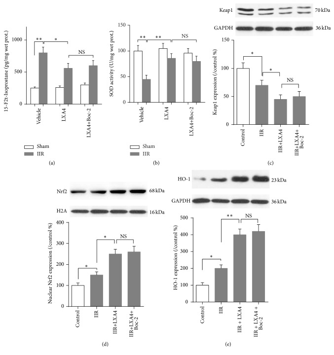 Effects of Lipoxin A4 on Keap1/Nrf2 pathway. Quantitative analysis using ELISA method was taken to assay the concentration of oxidative marker 15-F2t-Isoprostane (a) and SOD activity (b) in intestine mucosa. Representative Western blots and quantitative analyses showing total Keap1 (c) and HO-1 (d) protein and nuclear Nrf2 (e) protein expressions in intestine mucosa. Each bar represents the mean ± SEM ( n = 6 per group). ∗ p