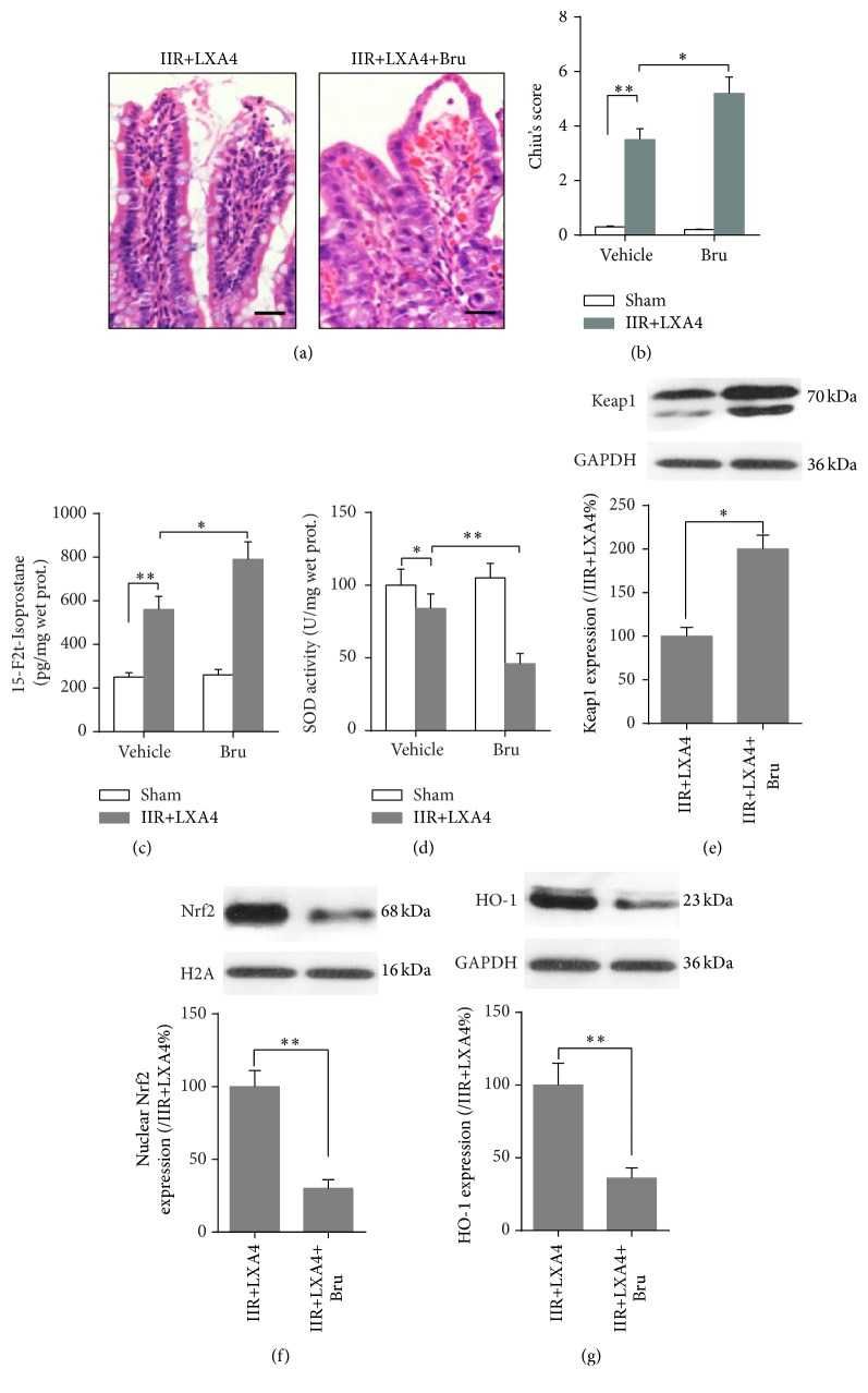 Brusatol reversed the protective effects conferred by Lipoxin A4. Representative photomicrographs (400x) showing H E staining of intestine (a) and Chiu's score (b) was carried out to evaluate the injury degree; quantitative analysis using ELISA method was taken to assay the concentration of oxidative marker 15-F2t-Isoprostane (c) and SOD activity (d) in intestine mucosa. Representative Western blots and quantitative analyses showing total Keap1 (e) and HO-1 (g) protein and nuclear Nrf2 (f) protein expressions in intestine mucosa. Each bar represents the mean ± SEM ( n = 6 per group). ∗ p