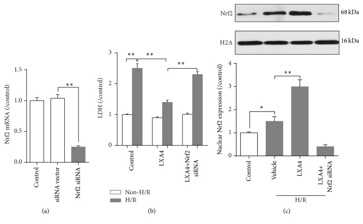 Effects of Lipoxin A4 and knockdown of Nrf2 on H/R-induced cell damage in IEC-6 intestinal epithelium cells. (a) Effects of gene knockdown by Nrf2 siRNA. (b) Relative lactate dehydrogenase (LDH) release of IEC-6 cells. (c) Determining nuclear Nrf2 expression by western blot. Bars are mean ± standard deviation from four independent experiments. ∗ p