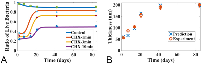 Model prediction: the percentage of the live cell volume of a multispecies oral biofilm treated by CHX and the thickness of a naturally growing biofilm. The initial profile for each components are (0.056, 0.024, 0, 0, 1.0, 0, 0) for the volume fractions of susceptible, persister, live bacteria and EPS, as well as the concentrations for nutrient, antimicrobial agents and QS molecules, respectively. ( A ) Percentage of live bacterial cells in the biofilm at different time after being treated with CHX for 1, 3 and 10 minutes, respectively. The bottom curve corresponds to a controlled experiment where the biofilm is not treated with CHX (experimental data are obtained from 24 ); ( B ) Biofilm thickness of the controlled group. The experimental data are plotted with error bars.