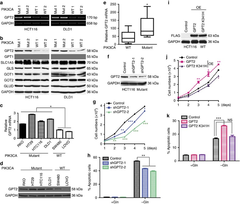 PIK3CA mutation upregulates GPT2 which renders CRC dependent on glutamine. ( a ) GPT2 mRNA levels are higher in PIK3CA mutant clones. RT–PCR analyses of the indicated genes in the HCT116 and DLD1 PIK3CA mutant and WT clones. ( b ) GPT2 protein levels are higher in cells with PIK3CA mutations. Cell lysates of WT and mutant clones were blotted with the indicated antibodies. SLC1A5: glutamine transporter. ( c , d ) GPT2 expression is upregulated in PIK3CA mutant CRC cell lines. qRT–PCR ( c ) and western blot of GPT2 protein in the indicated cell lines ( d ). ( e ) GPT2 mRNA levels are higher in PIK3CA mutant tumours. qRT–PCR analyses of GPT2 in tumours with no mutations in PIK3CA or in PTEN , PDK1 , AKT s and IRS ( n =10) versus tumours with PIK3CA mutations ( n =10). Data are plotted as whiskers (min to max). ( f – h ) GPT2 is needed for growth and for glutamine dependency in PIK3CA mutant cells. GPT2 was knocked down with two independent shRNAs in a HCT116 PIK3CA mutant clone (Mut 1). Stable pools were selected for further analysis. Western blot of GPT2 in control and GPT2 knockdown clones ( f ). Two thousand cells were seeded in 96-well plates and grown under normal culture conditions, and cell numbers were counted 5 consecutive days ( g ). Control and GPT2 knockdown clones were grown with or without glutamine for 72 h. Cell apoptosis was quantified ( h ). ( i – k ) GPT2 is sufficient for growth and for creating glutamine sensitivity in PIK3CA WT cells. A HCT116 PIK3CA WT clone (WT 1) was transfected with empty vector (control), or a FLAG-tagged WT GPT2 (GPT2) or a FLAG-tagged inactive GPT2 mutant (GPT2 K341H). Stable pools were selected for further analysis. Western blot analyses of transfected FLAG-GPT2 protein levels ( i ); cell proliferation under normal culture conditions ( j ); control and GPT2 overexpression (OE) cell pools were grown with or without glutamine for 72 h. Cell apoptosis was quantified ( k ). Data are presented as mean±s.e.m. of three independen