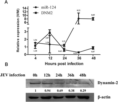 Expression of miR-124 and DNM2 in PK15 cells during JEV infection. a PK15 cells were infected with JEV. Mock-infected (M) or virus-infected (V) cells were harvested at the indicated times, and the miR-124 and DNM2 <t>RNA</t> levels were quantified using <t>qRT-PCR.</t> The data were normalized to the levels measured in mock-infected cells to provide relative expression levels (V/M). The results shown are means ± SD with triplicate data points. b Replicate cell cultures were evaluated by western blot for DNM2 protein expression. β-actin serves as a loading control