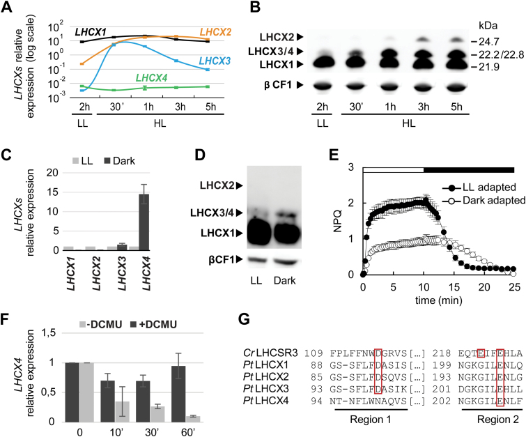 Light and dark regulation of P. tricornutum LHCXs. Analysis of the four LHCX transcripts by qRT-PCR (A) and of LHCX proteins (B) by western blotting in cells adapted to low light (LL) (12L/12D cycles), after exposure to LL for 2h then to high light (HL) for 30min, 1h, 3h, or 5h. mRNA levels were quantified by using RPS as the reference gene (A). Proteins were detected using the anti-LHCSR antibody which recognizes all the Pt LHCXs (arrowheads) and the anti-βCF1 antibody as loading control (B). Cells adapted to darkness for 60h were compared with those grown in LL for the analysis of LHCX transcripts (C), proteins (D), and NPQ (E). Relative transcript levels were determined using RPS as a reference, and values were normalized to gene expression levels in LL. LHCX proteins were detected as in (B). The horizontal bar in (E) indicates when the actinic light was on (white) or off (black). (F) LHCX4 mRNAs in 60h dark-adapted cells (Time 0) and in response to 10min, 30min, or 1h of blue light (1 µmol m −2 s −1 ), in the presence (black) or absence (grey) of the inhibitor DCMU. Transcript levels were quantified by using RPS as the reference, and normalized to gene expression levels in the dark. Error bars represent ±SD of three technical replicates from one representative experiment in (A), and ±SD of three biological replicates in (C), (E), and (F). (G) Alignment of regions 1 and 2 of the Chlamydomonas reinhardtii LHCSR3 and P. tricornutum LHCX1, 2, 3, and 4 protein sequences. The boxes indicate the pH-sensing residues conserved between the LHCXs and LHCSR3. (This figure is available in colour at JXB online).