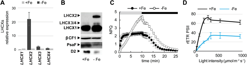 Effect of iron starvation on P. tricornutum LHCX expression and photophysiology. Experiments were performed on cells grown in iron-replete (11 µM, +Fe) or iron-limited (5nM iron+100 µM FerroZine™, –Fe) conditions: (A) qRT-PCR analysis of LHCX transcripts in –Fe, normalized against the +Fe condition and using RPS and H4 as reference genes. (B) Immunoblot analysis of the LHCX, D2, and PsaF proteins, using βCF1 as loading control. NPQ capacity (C) and relative electron transfer rates (rETR PSII ) (D) of cells grown in +Fe or –Fe. The horizontal bar in (C) indicates when the actinic light was on (white) or off (black). rETR PSII was measured at different light intensities (20, 170, 260, 320, 520, and 950 µmol m −2 s −1 ). In (A), (C), and (D), error bars represent ±SD of three biological replicates. (This figure is available in colour at JXB online).