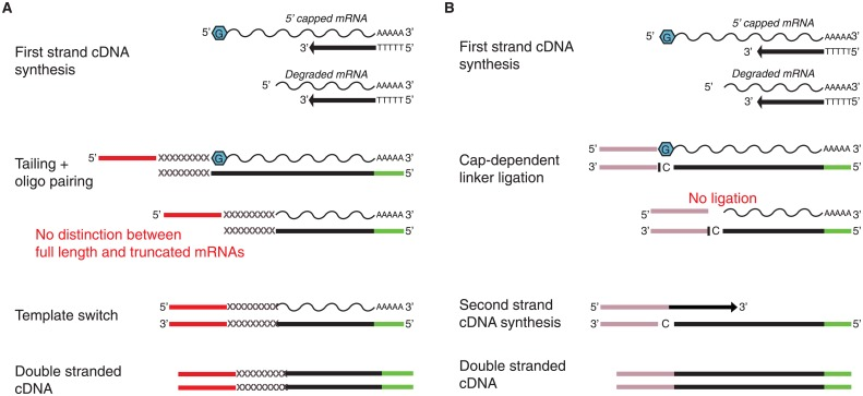 Schematic diagram of the <t>TeloPrime</t> and SMARTer cDNA synthesis technologies. (A) SMARTer does not distinguish between truncated and full-length transcripts. (B) TeloPrime enriches for full-length transcripts by affinity of the 5' adapter to the 5' cap structure of full-length <t>mRNAs</t> during cDNA synthesis. Red and pink rectangular shapes are the 5' adapters provided by each kit, respectively. Green rectangular boxes are the oligos priming cDNA synthesis of poly-A transcripts.