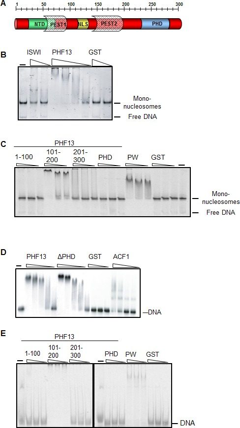 PHF13 binds to DNA and recombinant nucleosomes. ( A ) Schematic of the putative domain structure of PHF13. ( B ) Mononucleosome EMSA using recombinant mononucleosomes reconstituted on a 200 bp DNA fragment (20 nM) and increasing concentrations of GST (150 nM, 1200 nM), GST-ISWI (28 nM, 226 nM) and GST-PHF13 (70 nM, 140 nM, 280 nM, 560 nM). ( C ) Mononucleosome EMSA using recombinant mononucleosomes reconstituted on a 151 bp fragment (20 nM) and increasing concentrations (80, 160, 320 nM) of GST-1-100, GST-101-200, GST-201-300, GST-PHD and PWWP (positive control). ( D ) EMSA: 248 fM of P 32 radioactively labeled 248 bp DNA with increasing concentrations of GST (37.5, 150, 300 nM) GST-PHF13 (17, 34, 68, 102 and 135 nM) and GST-ΔPHD (18.5, 37, 74, 111, 148 nM) and ACF1 (10.5, 21, 31.5 and 42 nM). ACF1 served as a positive control. ( E ) EMSA: 10 nM <t>Cy5</t> labeled 40 bp DNA with increasing concentrations (40, 80, 160 nM) of GST, GST-1-100, GST-101-200, GST-201-300, GST-PHD and GST-PWWP (positive control). The input DNA and mononucleosomes are indicated in B–E . DOI: http://dx.doi.org/10.7554/eLife.10607.003