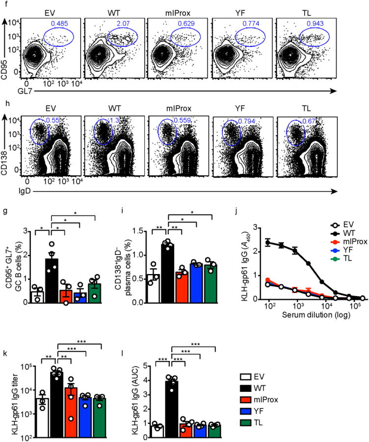 Importance of a novel ICOS signaling motif in T FH cell development. ( a ) Evolutionary conservation of the proximal (IProx), PI3K-binding YxxM and distal motifs in the cytoplasmic tail of ICOS. ( b , d ) Flow cytometry of cells from host B6 mice 7 d after adoptive transfer of Icos –/– SMARTA CD4 + T cells transduced with retrovirus encoding empty vector (EV) or wild-type ICOS (WT) or mIProx, YF or TL mutant ICOS and infected with LCMV Armstrong strain. Numbers adjacent to outlined areas indicate percent CXCR5 + SLAM lo T FH cells ( b ) or CXCR5 + PD1 hi GC T FH cells ( d ). Cumulative data for b ( c ) or d ( e ) from three independent experiments. ( f , h ) Flow cytometry of cells from host CD4-Cre × Bcl6 fl/fl mice 10 d after adoptive transfer of Icos –/– SMARTA CD4 + T cells transduced as in ( b ), and were immunized with KLH-gp61 absorbed to alum. Numbers adjacent to outlined areas indicate percent CD95 + GL7 + GC B cells ( f ) and CD138 + IgD – plasma cells ( h ). Cumulative data for f ( g ) or h ( i ) from two independent experiments. Each data point represents a single mouse. ( j ) Quantification of anti-KLH-gp61 IgG from sera of immunized mice analyzed with ELISA and presented as absorbance at 450 nm. The endpoint titer ( k ) and area under curve (AUC; l ) were calculated. Shown are mean ± SEM; ANOVA with post-hoc Tukey's corrections. * P