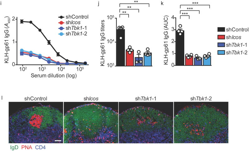 TBK1 is required for T FH cell differentiation. ( a , c , e ) Flow cytometry of cells from host B6 mice 7 d after adoptive transfer of SMARTA CD4 + T cells transduced with shRNA targeting the Tbk1 (sh Tbk1 -1 and sh Tbk1 -2), Icos or control genes and infected with LCMV Armstrong strain. Numbers adjacent to outlined areas indicate percent CXCR5 + SLAM lo T FH cells ( a ), CXCR5 + <t>PD1</t> hi GC T FH cells ( c ), or CXCR5 + GL7 hi GC T FH cells ( e ). Cumulative data for a ( b ), c ( d ) or e ( f ) from three independent experiments. ( g ) Flow cytometry of cells from host CD4-Cre × Bcl6 fl/fl mice 10 d after adoptive transfer of Icos –/– SMARTA CD4 + T cells transduced as in ( a ), and were immunized with KLH-gp61 suspended in AddaVax. Numbers adjacent to outlined areas indicate percent CD95 + PNA + GC B cells. Cumulative data for g ( h ) from two independent experiments. ( i ) Quantification of anti-KLH-gp61 IgG from sera of immunized mice analyzed with ELISA and presented as absorbance at 450 nm. The endpoint titer ( j ) and area under curve (AUC; k ) were calculated. Each data point represents a single mouse. Shown are mean ± SEM; ANOVA with post-hoc Tukey's corrections. * P