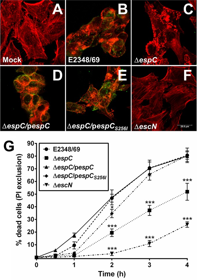 EspC produces cell death on epithelial cells. (A to F) Cytotoxic effects induced by EspC-producing EPEC. Untreated HEp-2 cells were used as the control (A), and HEp-2 cells were infected with the EPEC wild-type (WT) strain (E2348/69) (B), Δ espC mutant (C), Δ espC /p espC complemented strain (D), Δ espC /p espC S256I complemented strain (E), or Δ escN mutant (F) for 4 h. Infected cells were fixed and permeabilized. Cells were immunostained with anti-EspC antibody, followed by a secondary antibody conjugated to fluorescein isothiocyanate (FITC), and the actin cytoskeleton was detected with rhodamine-phalloidin. Slides were observed using a Leica TCS SP8 confocal microscope. Scale bar, 20 µm. (G) Cell death induced by EspC-producing EPEC. HEp-2 cells were infected with the EPEC WT, Δ espC , Δ espC /p espC , Δ espC /p espC S256I , or Δ escN strain at an MOI of 10 for different lengths of time. Cells were harvested and stained with propidium iodide (PI) to perform a PI exclusion assay by flow cytometry. Data are expressed as the mean ± SEM from at least 3 independent experiments. Statistical analysis was performed using two-way ANOVA followed by Dunnett's multiple comparison test for comparison to the WT strain (*, P
