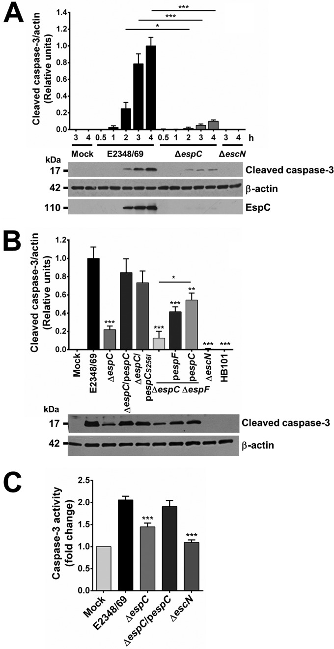 EspC is required for caspase-3 activation and activity. (A) EspC-producing EPEC induces procaspase-3 cleavage. HEp-2 cells were infected with the indicated bacterial strains at an MOI of 10 at the different times indicated. Infected cells were lysed, and proteins were analyzed by immunoblotting using anti-caspase-3, anti-β-actin, and anti-EspC as primary antibodies and HRP-conjugated anti-isotype secondary antibody. Samples were normalized using the maximum densitometric value. (B) Induction of procaspase-3 cleavage is complemented in the mutant strains by either espC or espF , and this effect is higher by espC complementation. Activation of caspase-3 was performed as indicated above, in cells infected by the indicated strains at 4 h of infection. (C) EspC-producing EPEC induces caspase-3 activity. Activity of caspase-3 was determined in HEp-2 cells infected by the EPEC WT, Δ espC , Δ espC /p espC , or Δ escN strain at an MOI of 10 for 4 h. The whole-cell lysates were subjected to the caspase activity assay by using a synthetic substrate as described in Materials and Methods. Activity is represented as fold change relative to uninfected cells. Data are shown as the mean ± SEM from at least 3 independent experiments. Statistical analyses were performed using (A) unpaired t test (*, P