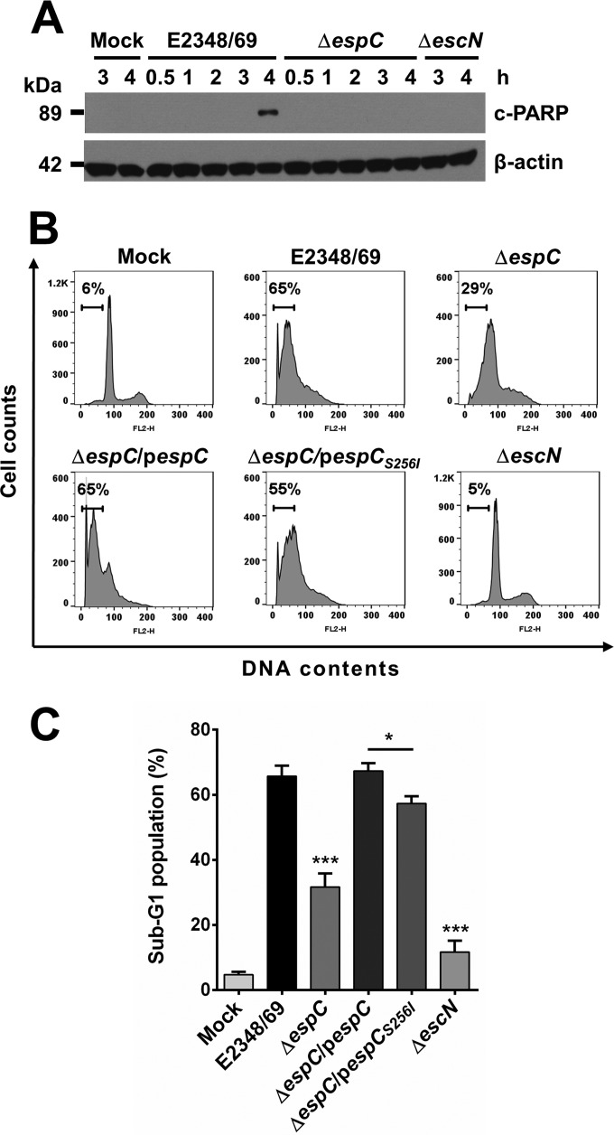 EspC induces PARP proteolysis and DNA nuclear fragmentation. (A) EspC induces PARP cleavage. HEp-2 cells were infected with the bacterial strains as indicated at an MOI of 10 and for the indicated times. Infected cells were lysed, and proteins were analyzed by immunoblotting using anti-cleaved PARP and anti-β-actin as primary antibodies and HRP-conjugated anti-isotype secondary antibody. (B) EspC induces DNA nuclear fragmentation. HEp-2 cells were infected with the EPEC WT, Δ espC , Δ espC /p espC , Δ espC /p espC S256I , or Δ escN strain at an MOI of 10 for 4 h. The cell cycle was measured by using propidium iodide (PI) staining; results are presented as histograms. (C) EspC induces an increase in the sub-G 1 cell population. Cell distribution was measured by fluorescence intensity in the sub-G 1 phase. Results are shown as percentages of the sub-G 1 population. Data are expressed as the mean ± SEM from at least 3 independent experiments. Statistical analyses were performed using unpaired t test (*, P