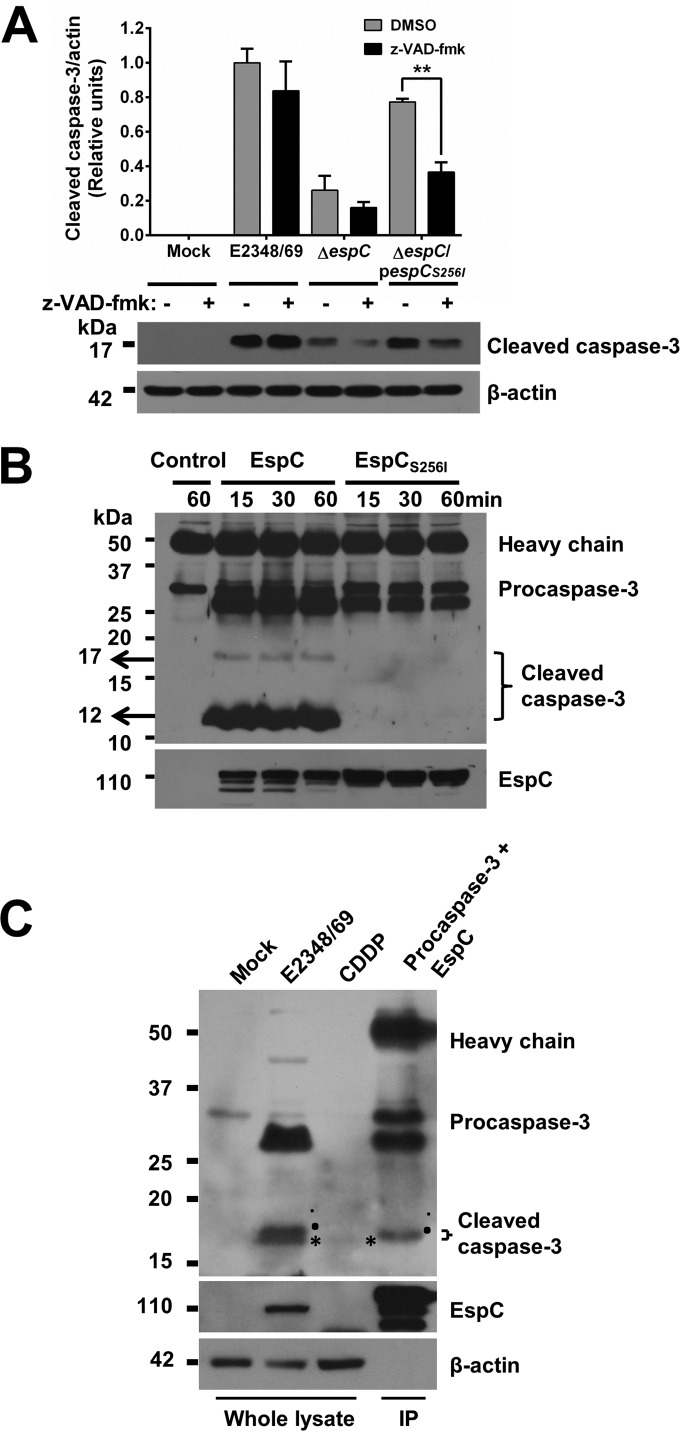Procaspase-3 is directly cleaved by EspC. (A) The presence of a caspase inhibitor plus a mutation in the serine protease motif causes a dramatic decrease in caspase-3 activation. <t>HEp-2</t> cells were pretreated with 50 µM z-VAD-fmk or only DMSO for 1 h. Cells were infected with the EPEC WT, Δ espC , or Δ espC /p espC S256I strain at an MOI of 10 for 4 h. Infected cells were lysed, and proteins were analyzed by immunoblotting using anti-caspase-3 and anti-β-actin as primary antibodies and HRP-conjugated anti-isotype secondary antibody. Data are expressed as the mean ± SEM from at least 3 independent experiments. Statistical analysis was performed using two-way ANOVA followed by Bonferroni's multiple comparison test (**, P