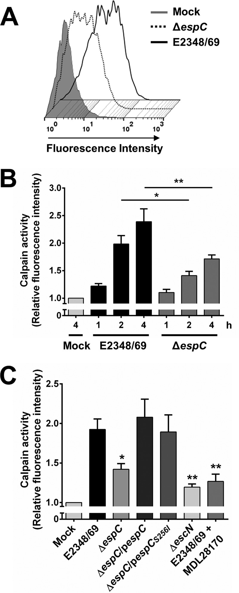 EspC induces calpain activity during EPEC infection. (A) Measurement of calpain activity induced by EspC. HEp-2 cells were pretreated with 20 µM fluorescent substrate t -BOC-Leu-Met-CMAC upon cleavage by calpain. Cells were infected with the EPEC WT (E2348/69) or Δ espC mutant at an MOI of 10 for 4 h. Calpain activity was measured as increase in fluorescence intensity. (B) Kinetics of calpain activity induced by the EPEC WT or Δ espC mutant. Cells were infected with the bacterial strains at an MOI of 10 for the indicated times. Calpain activity was measured as increase of mean fluorescence intensity. All measurements were expressed relative to the calpain activity measured in mock-infected cells. Activity is represented as fold change relative to uninfected cells. (C) EspC causes an increase in calpain activity. HEp-2 cells were infected with the different bacterial strains as indicated at an MOI of 10 for 3 h. MDL28170, a specific calpain inhibitor, was included to demonstrate that the increase of fluorescence is specific to calpain-like proteases. Data are shown as the mean ± SEM from at least 3 independent experiments. Statistical analyses were performed using (B) unpaired t test (*, P