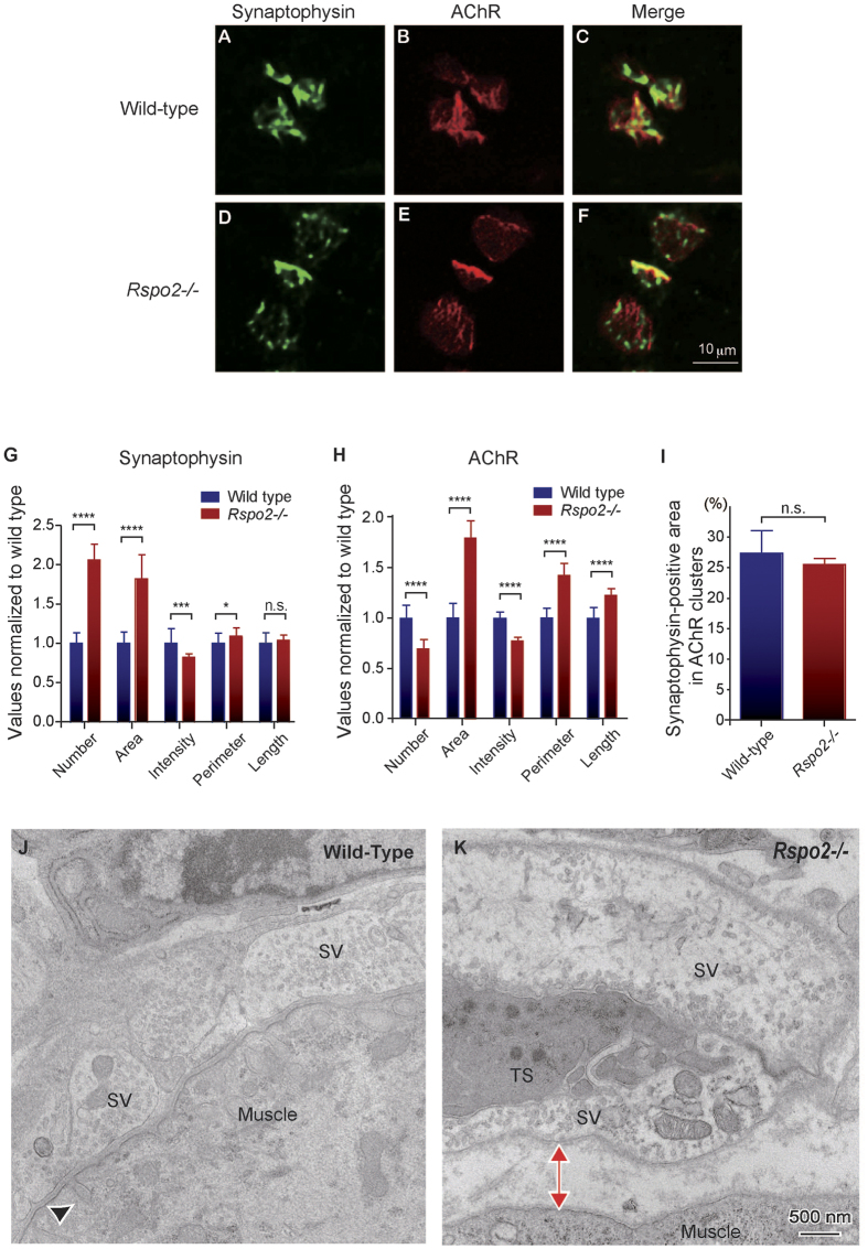 Apposition of nerve terminals and muscle endplates is compromised in the E18.5 diaphragm of R-spondin 2 ( Rspo2) −/− mice. ( A–F ) Representative confocal images of the left diaphragm at E18.5 labeled with an anti-synaptophysin antibody and α-bungarotoxin to visualize the nerve terminals and acetylcholine receptors (AChRs), respectively. Endplates of the wild-type muscles were mostly ovoid-shaped ( B ), whereas the endplates of Rspo2 −/− muscles were large, round, and heterogeneously stained ( E ). ( G–I ) Blinded morphometric analysis of synaptophysin ( G ) and AChR ( H ) in the AChR clusters revealed that NMJ areas were markedly enlarged at E18.5. Numbers of synaptophysin-positive clusters ( G ) and AChR-positive clusters ( H ) are shown. ( I ) The ratio is calculated by dividing the synaptophysin-positive area by the AChR-positive area. Note that not all AChR-positive (red) pixels were synaptophysin-positive (green) in each AChR cluster. Mean and standard deviation (SD; n = 6) are indicated. **** p