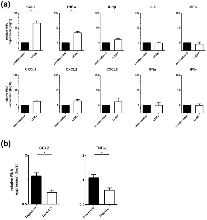 Impaired secretion of CCL2 and TNF-α by TREM1−/− neutrophils in response to LCMV. ( A ) Neutrophils were isolated from Trem1 +/+ C57BL/6 mice, stimulated with LCMV WE (MOI 5) and, after 6 hours, the expression of CCL2, TNF-α, IL-1β, IL-6, MPO, CXCL1, CXCL2, CXCL5, IFN-α and IFN-γ relative to the HPRT house-keeper were determined by qRT-PCR. Shown are mean values ± SEM. *p