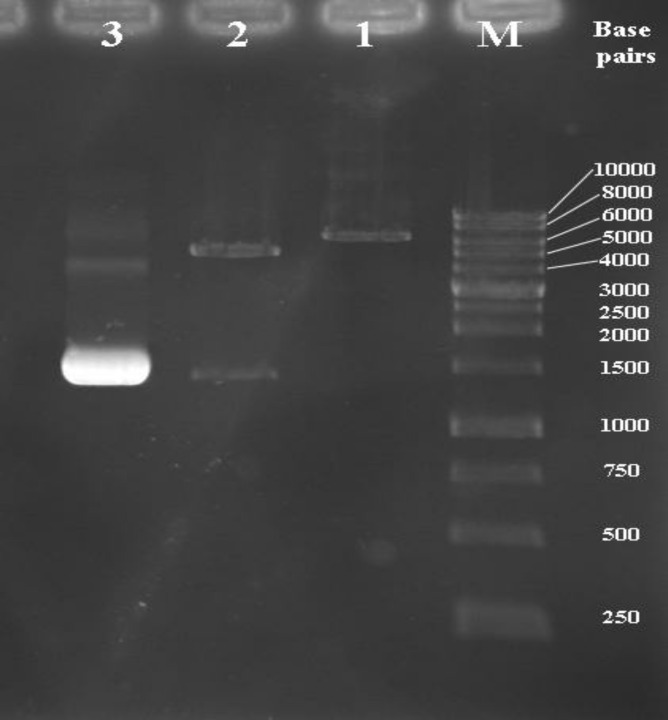 Agarose gel electrophoresis analysis of recombinant pET28a/ fliC with restriction enzyme digestion. Lane M; DNA molecular weight marker (1 kb); lane 1: mono-digestion of the pET28a/ fliC vector with BamHI. One expected fragment was observed on the gel (~ 6836 bp band). Lane 2: BamHI/HindIII digested the recombinant vector. Two expected fragments from double digestion were observed on the gel (~ 5369 and 1467 bp bands). Lane 3; the optimized PCR product of the fliC gene (~ 1467 bp band
