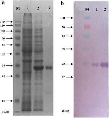Expression and purification of the recombination PmMuGST fusion protein. Equal amounts of proteins (30 μg) were subject to SDS-PAGE and western blotting analysis. a Protein samples were separated by SDS-PAGE and stained with Coomassie Brilliant Blue. Lane M , protein standard; lane 1 , crude extract of BL 21 (DE3) without plasmid; lane 2 , crude extract of the transformed BL21 (DE3) with recombined pET28a (+) plasmid induced with IPTG; lane 3 , purified PmMuGST fusion protein. b Protein samples were analyzed by immunoblotting with anti- PmMuGST antibody. Lane M , protein standard; lane 1 , crude extract of the transformed BL 21 (DE3) with recombined pET28a (+) plasmid induced with IPTG; lane 2 , purified PmMuGST fusion protein