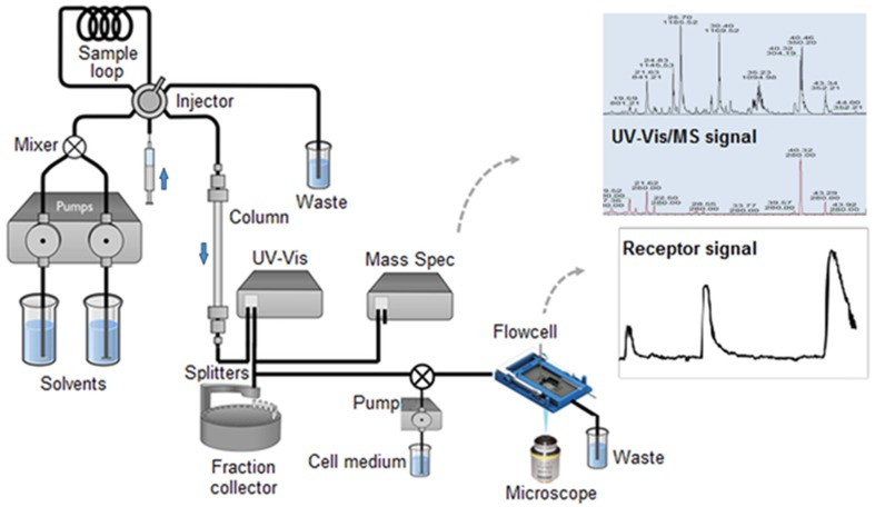 Scheme of an online functional metabolomics setup. The microfluidic flowcell with sensory cells is placed in a microscopic fluorescence detector, which will continuously monitor the cellular response of sample compounds eluting from the LC column. Simultaneous detection of compounds by UV–Vis ( lower chromatogram ) and MS ( upper chromatogram ) can provide identification of bioactive compounds. LC-fractions, preferably separated into individual compounds, are collected as well in order to keep a compound record of the run when further functional analysis or metabolite identification experiments are required. This figure is modified from www.galenica.cl