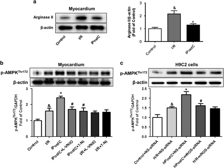 Expression of arginase II, p-AMPK Thr172 and β -actin in the myocardium at 30 min of reperfusion. ( a ) Arginase II expression was significantly increased in the I/R group; this increase was downregulated by IPostC. ( b and c ) p-AMPK Thr172 expression was increased in the IPostC group; this increase was abolished by nNOS inhibitors and nNOS siRNA ( n =3 per group). P