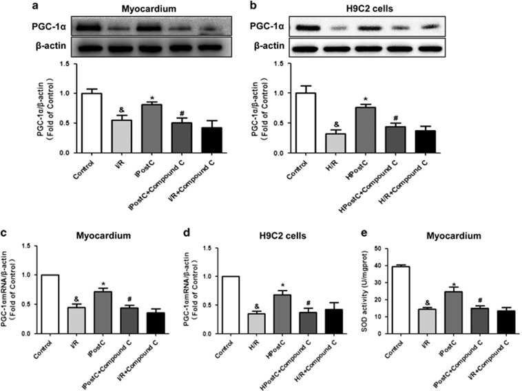 PGC-1 α expression and SOD activity in the myocardium and H9C2 cells in vitro . IPostC increased PGC-1 α mRNA levels ( c and d ) and protein expression ( a and b ); these effects were abolished by the AMPK inhibitor compound C. ( e ) IPostC recovered SOD activity, which was abolished by AMPK inhibition ( n =4 per group). P
