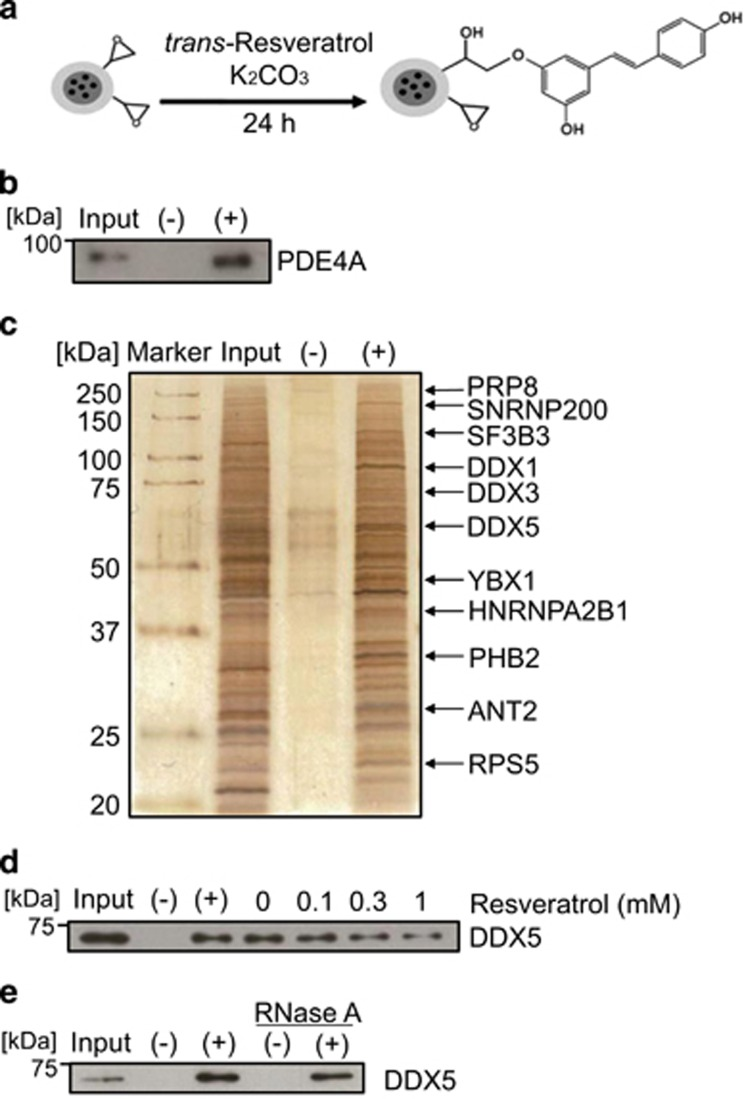 Identification of resveratrol-binding proteins. ( a ) The scheme for fixation of resveratrol onto magnetic FG beads with epoxy linkers. ( b ) Purified recombinant PDE4A (2 μ g) was incubated with empty (−) or resveratrol-immobilized (+) beads for 4 h, and bound PDE4A was detected by western blotting. The input lane corresponds to recombinant PDE4A (250 ng). ( c ) Resveratrol-binding proteins were purified from human prostate cancer PC-3 cell extracts, silver-stained, and identified by matrix assisted laser desorption/ionization time-of-flight mass spectrometric analysis. The input lane represents 1% of the PC-3 cell extracts used for the binding assay. ( d ) In the competitive assay, PC-3 cell extracts were preincubated with the indicated doses of resveratrol for 1 h and incubated with the beads for 15 min. Bound DDX5 was detected by western blotting. The input lane represents 5% of the PC-3 cell extracts used for the binding assay. ( e ) Purified recombinant DDX5 (1 μ g) with or without RNase A was incubated with the beads, and bound DDX5 was detected by western blotting. The input lane corresponds to recombinant DDX5 protein (150 ng)