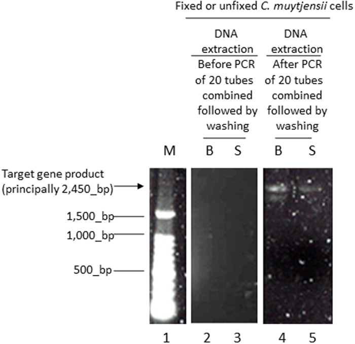 Electrophoresis images of <t>DNA</t> extracted from the C. muytjensii cells with or without fixation followed by direct qPCR producing long DNA <t>amplicons.</t> M: 100 bp DNA ladder; B: fixation B (methanol/acetic acid = 3/1); S: no fixation (use of physiological saline); Target gene length: principally 2,451 bp of the 16 S to 23 S rRNA gene.