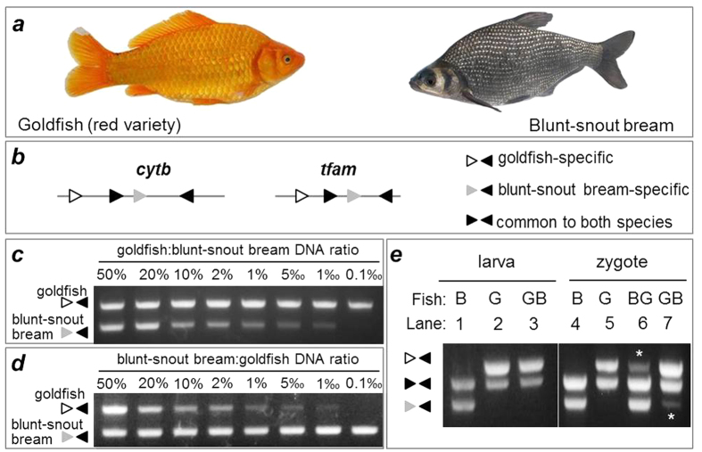 Origin and inheritance of mtDNA in cyprinid fishes. (a ) Goldfish red variety and blunt-snout bream used for reciprocal hybridization. ( b ) Scheme of PCR primers for cytb and tfam, showing primers specific to goldfish (open arrowhead) or blunt-snout bream (grey arrowhead) and common to both species (black arrowheads). For more details see Figs S1 and S2 . ( c , d ) Specificity and sensitivity of mtDNA detection by PCR. Genomic DNA mixtures between goldfish and the blunt-snout bream were prepared at various ratios and used for PCR analysis by using species-specific cytb primers. Notably, an amount as low as 1‰ is easily detectable. ( e ) PCR analysis of mtDNA origins, showing the absence of sperm cytb in the hybrid larvae between female goldfish and male blunt snout bream and the coexistence of maternal and paternal cytb in the zygotes from reciprocal hybridization. Asterisks depict sperm mtDNA. DNA was isolated from 20 pooled zygotes and embryos at each stage from parental species and reciprocal hybridization and analyzed by PCR at representative stages indicated. β-actin was used as a loading control. PCR and gels were run under the same conditions. B, blunt-snout bream; G, goldfish; BG, blunt-snout bream female × goldfish male; GB, goldfish female × blunt-snout bream male.