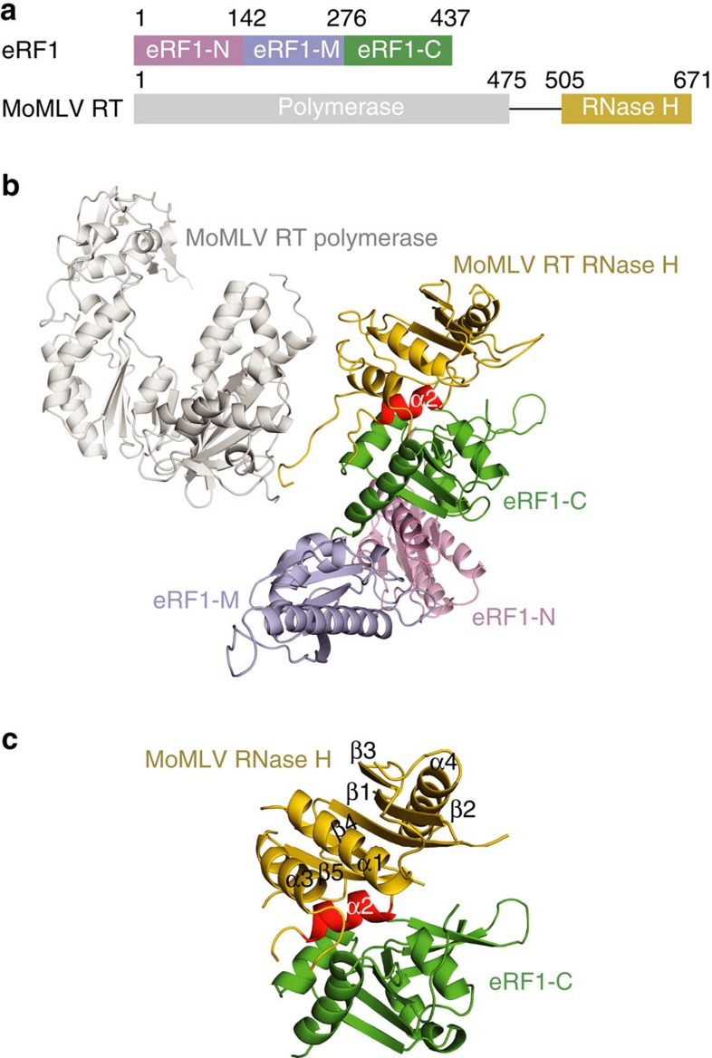 Structure of the MoMLV RT/eRF1 complex. ( a ) Schematic representation of the domain organization of eRF1 and MoMLV RT. Domains N, M, and C of eRF1 are coloured in pink, lightblue and green, respectively. MoMLV RT polymerase domain is coloured in grey and RNase H domain in yellow. ( b ) A ribbon diagram of the MoMLV RT/eRF1 complex. The colouring scheme is as in a . The helix α2 of RNase H domain is highlighted in red. ( c ) The RNase H/eRF1-C complex structure. The secondary structure elements of RNase H domain are labelled.