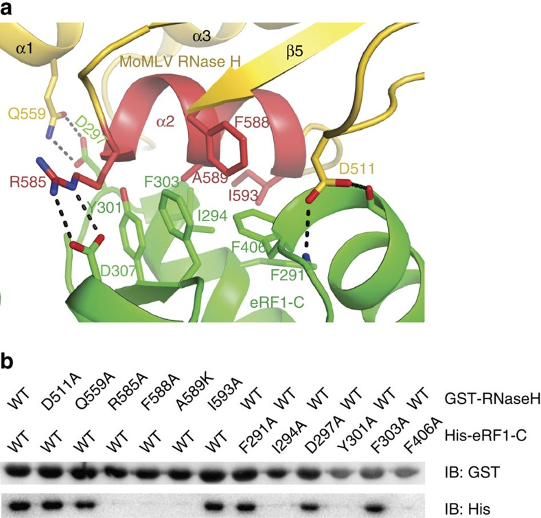 Interaction of <t>MoMLV</t> RT with eRF1. ( a ) Interface between the <t>RNase</t> H domain of MoMLV RT and eRF1-C. Residues involved in the interaction are shown as sticks and labelled. ( b ) GST pull-down assay. GST tagged WT MoMLV RNase H and its mutants on beads were used to bind His-tagged eRF1-C and its variants.