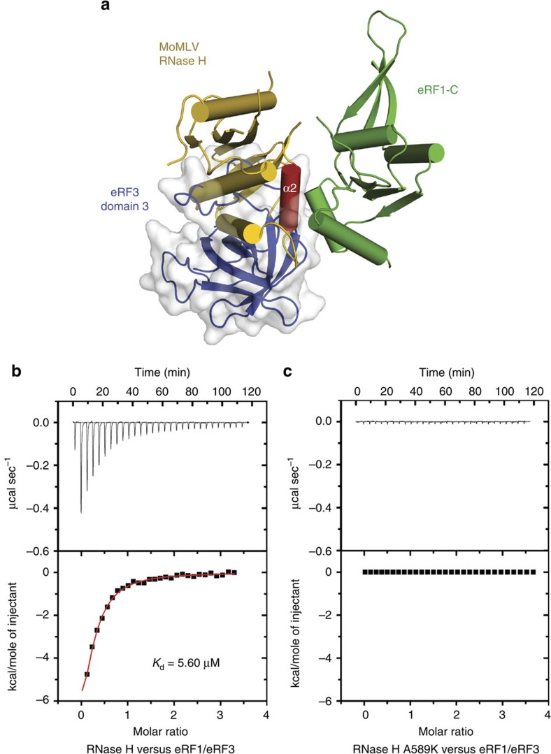 The RNase H domain of MoMLV RT outcompetes eRF3 for binding to eRF1. ( a ) Superposition of the RNase H/eRF1-C complex with the eRF1/eRF3 complex (PDB accession code: 3E1Y) at eRF1-C domain. The overlapping interface suggests that MoMLV RT and eRF3 are mutually exclusive for binding to eRF1. eRF3 domain 3 is shown in cartoon (blue) covered with grey transparent surface. eRF3 domain 2 and eRF1-C domain in eRF1/eRF3 complex are not displayed for clarity. ( b , c ) Representative ITC titrations of WT RNase H and mutant A589K to the eRF1/eRF3 complex. The upper panels show the binding isotherms and the lower panels show the integrated heat for each injection fitted to a single-site model.