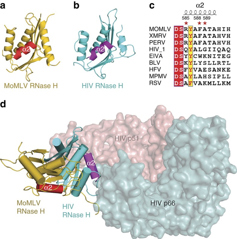 Structural explanation of why HIV RT cannot interact with eRF1. ( a ) Cartoon representation of the RNase H domain of MoMLV RT. ( b ) The RNase H domain of HIV RT, which is coloured in cyan with its helix α2 highlighted in purple. ( c ) Sequence alignment of the helix α2 from various genera of retroviruses. MoMLV, XMRV and PERV (Porcine endogenous retrovirus) belong to gammaretrovirus. HIV-1 and EIVA (Equine infectious anaemia) are lentivirus. BLV (Bovine leukemia virus), HFV (Human foamy virus), MPMV (Mason pfizer monkey virus) and RSV (Rous sarcoma virus) belong to deltaretrovirus, spumaretrovirus, betaretrovirus and alpharetrovirus respectively. ( d ) Superposition of MoMLV RT and HIV RT p66 (PDB accession code: 1HYS) at their polymerase domains. HIV RT p66 except RNase H domain and p51 subunits are shown as surfaces coloured in cyan and salmon, respectively.
