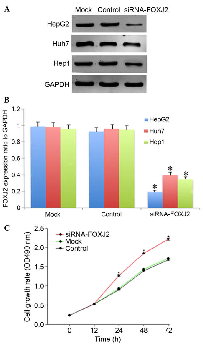 FOXJ2 knockdown promoted cell proliferation. (A) Western blot analysis indicated that siRNA treatment of FOXJ2 markedly reduced the FOXJ2 levels 48 h subsequent to siRNA transfection in three HCC cells in comparison with cells transfected with negative control and mock treatments. (B) The ratio of FOXJ2 protein to GAPDH expression measured by densitometry. Data are presented as the mean ± standard error. (C) A CCK-8 assay indicated that FOXJ2 knockdown in HepG2 cell promoted cell proliferation. CCK-8 reagents were added to the medium and incubated for additional 2 h. Absorbance was measured at each indicated time (0, 12, 24, 48 and 72 h). Each time point was derived from three independent experiments. The data are presented as the mean ± standard deviation for three experiments. * P
