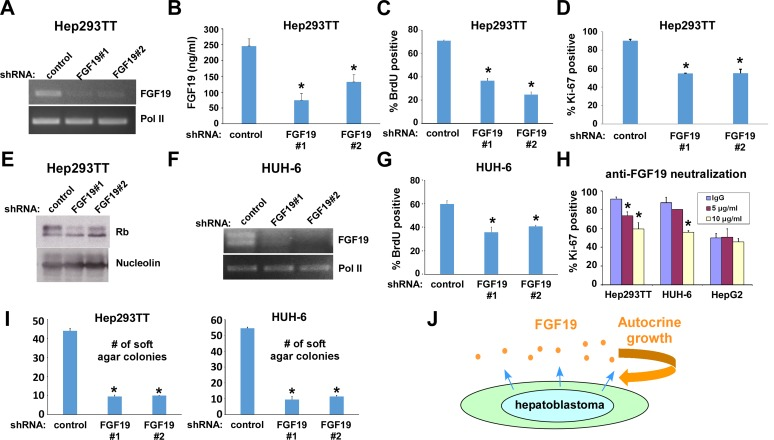 FGF19 downregulation results in inhibition of hepatoblastoma proliferation A. shRNA-mediated silencing of FGF19 mRNA expression in Hep293TT cells. Hep293TT cells were infected with lentiviruses expressing shRNAs against FGF19 or control shRNA and were selected with 2 μg/ml puromycin. Four days after infection, total RNA was isolated and the expression of FGF19 was analyzed by RT-PCR. RNA polymerase II (Pol II) serves as a loading control. B. Suppression of secreted FGF19 protein levels by shRNAs. Hep293TT cells were infected with lentiviruses expressing shRNAs against FGF19 or control shRNA and were selected with 2 μg/ml puromycin. Four days after infection, the levels of secreted FGF19 protein were assessed by ELISA. C. - E. FGF19 silencing inhibits Hep293TT cell proliferation. Hep293TT cells were infected with lentiviruses expressing shRNAs against FGF19 or control shRNA. Four days after infection, cells were labeled with BrdU for 6 hours and immunofluorescence microscopy was used to score the percentage of BrdU-positive cells (C); cells were stained for Ki-67 (D); and the dephosphorylation of Rb was analyzed by immunoblotting (E; nucleolin serves as a loading control). Asterisks denote p
