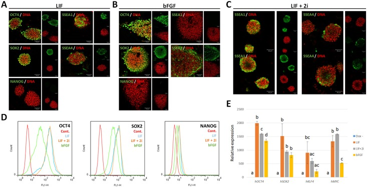 Expression of pluripotent markers in piPSCs. Expression of endogenous and exogenous pluripotent genes was determined by immunostaining and qPCR. (A) OCT4, SOX2, SSEA1, and SSEA4 were expressed in naïve-like piPSCs cultured with LIF. (B) OCT4, SOX2, and SSEA4 were expressed in primed-like piPSCs cultured with bFGF (C) When treated with 2i, SSEA4 was still expressed in naïve-like piPSCs. (D) Expression of NANOG was not detected under any culture conditions as determined by flow cytometric analysis. (E) Exogenous transgenes were highly expressed when treated with doxycycline in piPSCs, while transgenes were not expressed in the absence of doxycycline. Scale bar = 50 μm.
