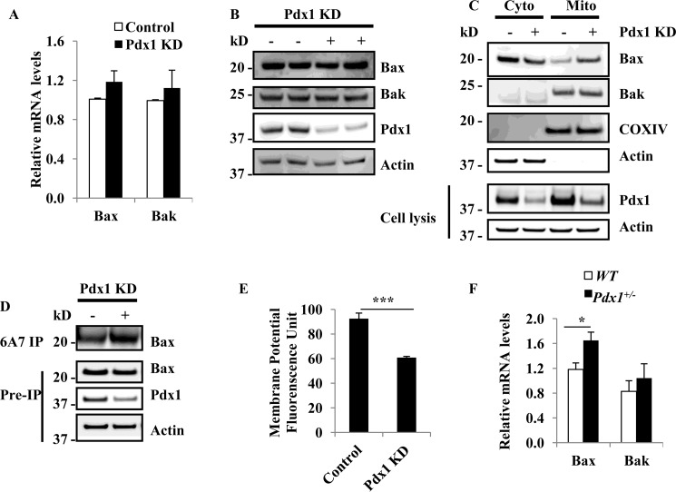 Pdx1 knockdown induces Bax activation in MIN6 cells and islets. A , Bax and Bak mRNA levels in control and Pdx1 KD cells. 3 days after Pdx1 KD in MIN6 cells, Bax and Bak mRNA levels were not different between control and Pdx1 KD cells ( n = 3). B , Western blot of Pdx1 KD cells. 3 days after Pdx1 KD in MIN6 cells, immunoblot analysis was performed to determine Pdx1, Bax, and Bak in Pdx1 KD MIN6 cells. C , Bax nuclear/cytosolic translocation in Pdx1 KD MIN6 cells. 3 days after Pdx1 shRNA lentivirus infection, cytosolic and nuclear proteins were analyzed by Western blot. D , immunoprecipitate of Bax. 3 days after Pdx1 KD in MIN6 cells, cells were lysed in 1% CHAPS and then immunoprecipitated with the 6A7 anti-BAX antibody. Immunoprecipitates were analyzed by anti-BAX (N20) immunoblots. E , effects of Pdx1 on ΔΨ m . MIn6 cells were treated with Pdx1 shRNA lentivirus for 0, 4 days. Cells were stained with TMRE dye to measure ΔΨ m . ***, p