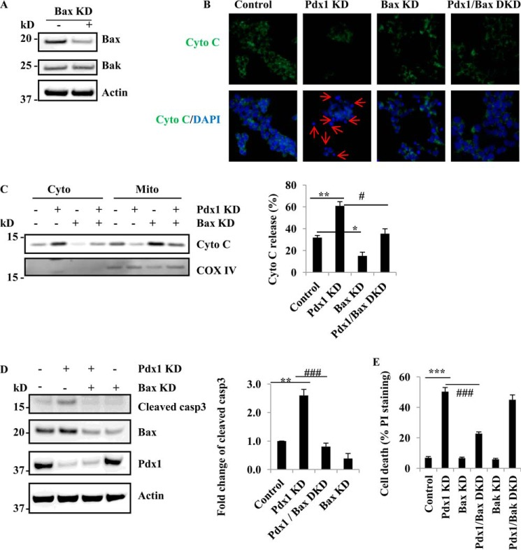 Bax is necessary for β-cell apoptosis induced by Pdx1 suppression. A , Bax protein levels in Bax KD cells. 3 days after Bax knockdown, immunoblot of Bax, Bak, and actin in Bax KD MIN6 cells. B , Bax KD inhibits the translocation of cytochrome c in Pdx1/Bax DKD MIN6 cells. Fluorescence microscopy of MIN6 cells 4 days after exposure to Pdx1 and Bax lentivirus. Green represents cytochrome c immunostaining, and blue is DAPI staining. Red arrows indicate apoptotic cells that have lost cytochrome c . Scale bar, 20 μm. C , Bax inhibits cytochrome c release induced by Pdx1 KD. 3 days after Bax and Pdx1 KD in MIN6 cells, the levels of cytochrome c in the cytosol and mitochondria fractions are determined by immunoblot. Bar graphs represent quantification using densitometry of the relative amounts of the indicated proteins determined by Western blots ( n = 3). *, p