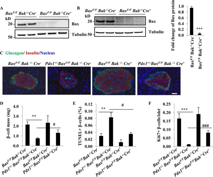 Bax ablation protects β-cells in adult Pdx1 +/− Bax F/F Bak −/− Cre − mice. A and B , Western blot of Bax in islets from 4-month old mice with normal chow ( A ) and high fat diet ( B ). C , islet morphology in adult mouse after 12 weeks on a high fat diet. Anti-insulin and anti-glucagon antibodies were used to stain β-cells ( red ) and α cells ( green ) respectively. Scale bar, 20 μm. D , histological analysis of pancreatic islets and quantitation of group data for β-cell mass ( n = 3–5 per group). **, p