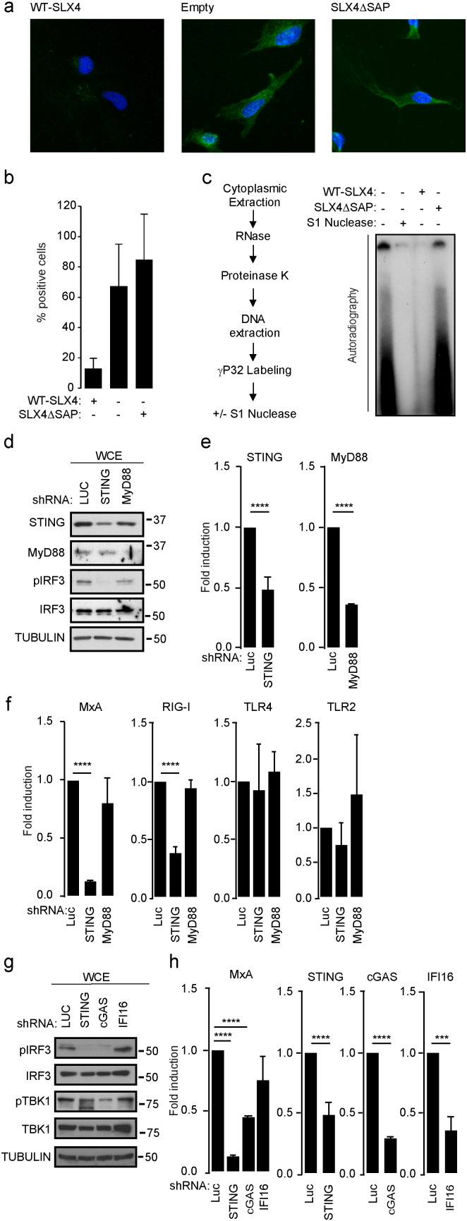 Cytoplasmic accumulation of ssDNA is responsible for pro-inflammatory signals in SLX4 deficiency. (A) Immunofluorescence analysis was performed on RA3331, RA3331 SLX4  and RA3331 SLX4ΔSAP  using ssDNA-specific antibody and DAPI nuclear staining. Images are representative of at least 4 independent experiments. (B) Quantification of staining observed in A. (C) Left panel: experimental scheme. Briefly, cytoplasmic extraction was performed on RA3331, RA3331 SLX4  and RA3331 SLX4ΔSAP  followed by RNase cocktail (RNase A and RNase T1) and proteinase K treatments prior to DNA extraction and radiolabeling. DNA extracted from RA3331 cells was subjected or not to a subsequent S1 Nuclease treatment prior to separation on acrylamide gel and autoradiography. Right panel: autoradiography of a representative experiment. (D) WCE from RA3331 expressing  Luciferase- ,  MYD88- , or  STING -targeting inducible shRNAs were analyzed by WB using indicated antibodies. (E) Graphs present RT-qPCR quantification of knock-down efficiency, measured using specific primers, as mean (±SD) mRNA expression relative to cells expressing  Luciferase -targeting shRNA from 3 independent experiments. (F) MxA, RIG-I, TLR4 and TLR2 mRNA levels were measured in cells described in D. Graphs present means (±SD) of 3 independent experiments as fold increase mRNA expression relative to cells expressing a  Luciferase  targeting shRNA. (G) WCE from RA3331 expressing  Luciferase ,  STING ,  cGAS  or  IFI16 -targeting inducible shRNAs were analyzed by WB using indicated antibodies. (H) MxA, STING, cGAS and IFI16 mRNA levels were measured in cells described in G. Graphs present means (±SD) of 3 independent experiments expressed as fold change in mRNA expression relative to cells expressing a  Luciferase  targeting shRNA. ****:  p