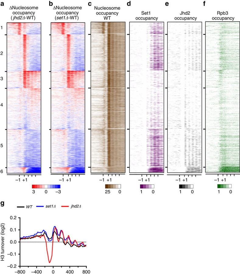 Set1 and Jhd2 co-regulate chromatin structure and nucleosomal turnover genome-wide during transcriptional regulation in yeast. ( a ) Nucleosome occupancy ratios (Δnucleosome occupancy) between jhd2Δ and control WT across all yeast genes are shown as a heat map, where gain or loss in nucleosome occupancy are in red and blue, respectively. Genes in rows are organized into six k-means clusters. Columns represent 50 bp windows over ±800 bp regions relative to the TSS. Relative positions for −1, +1 and other coding regions nucleosome are indicated at the bottom. Windows overlapping neighbouring genes were excluded. ( b ) Heat map for Δnucleosome occupancy between set1Δ and WT across all yeast genes. Heat map details are as described for a . ( c ) Native nucleosome occupancy for genes in the six k -means clusters generated from reads obtained in WT are shown. Nucleosome occupancy above global mean is in brown. ( d , e ) Heat maps for Set1 and Jhd2 occupancy within the six clusters are shown. ( f ) Heat map for Rpb3 occupancy within the six k -means clusters, using published data 51 , is shown. Pol2 subunit occupancy above global mean is in green ( Supplementary Fig. 14b ). ( g ) The average mean profile for histone H3 turnover across 800 bp region upstream (−) or downstream (+) of the TSSs (0) at all yeast genes in WT , set1Δ and jhd2Δ are shown.