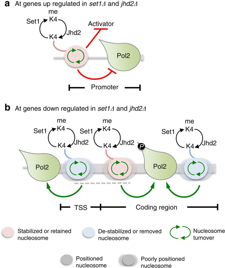 Model for Set1 and Jhd2-mediated co-regulation of chromatin structure and RNA Pol2 functions. ( a ) Target genes co-repressed by Set1 and Jhd2 are packaged into a well-defined chromatin organization. At these genes, Set1 and Jhd2 activities via H3K4 methylation–demethylation impact histone turnover at promoters leading to nucleosome retention, which restricts activator and/or RNA Pol2 binding. Thus, Set1 and Jhd2 are proposed to primarily co-regulate transcription initiation at these target genes. ( b ) Target genes co-activated by Set1 and Jhd2 are present in a poorly organized chromatin configuration, contain high levels of H3K4me2 and undergo high nucleosomal turnover over coding region. Set1 and Jhd2 activities via modulating H3K4 methylation levels impact nucleosomal turnover over coding regions, and proposed to remove +1 nucleosomes in front of RNA Pol2 and stabilize or retain nucleosomes behind the elongating RNA Pol2. Thus, Set1 and Jhd2 are proposed to co-regulate transcription elongation at these target genes. P , phosphorylated form of RNA Pol2 engaged in elongation.