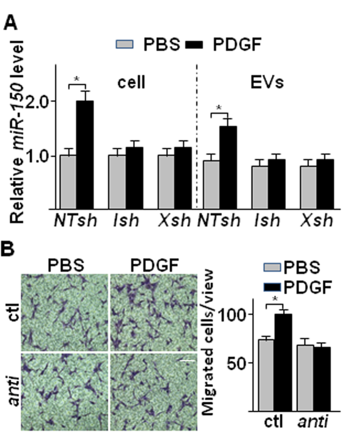 PDGF up-regulated miR-150 expression and secretion in SMC in IRE1α / XBP1 dependent manner. ( A ) PDGF increased miR-150 expression and secretion in SMC in an XBP1 splicing dependent manner. HSMCs were infected with non-target ( NTsh ), IRE1α ( Ish ) or XBP1 ( Xsh ) shRNA lentivirus at 100 IU for 48 hr, and then treated with DMEM supplemented with 0.5% FBS for 24 hr, followed by 20 ng/ml PDGF-BB treatment for 4 hr. The cellular and EV miR-150 levels were assessed by quantitative RT-PCR of three independent experiments. (mean ± SEM, * P