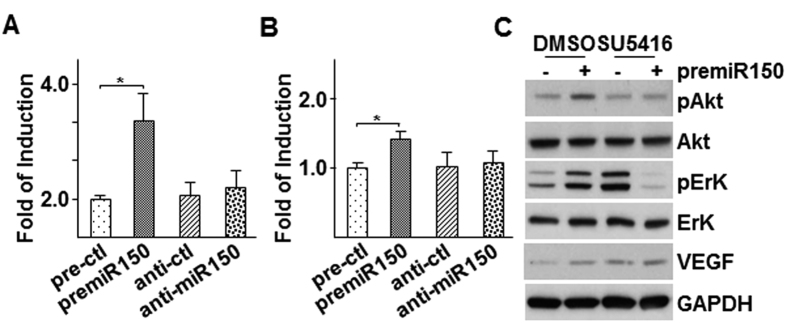 Over-expression of premiR-150 increased VEGF-A expression and VEGF receptor dependent Akt phosphorylation in HUVECs. ( A,B ) Over-expression of premiR-150 increased VEGF-A expression and secretion. HUVECs were transfected with premiR-150 or anti-miR-150 in serum free M199 medium for 5 h, then treated with M199 medium supplemented with 5 μg/ml insulin and 5 μg/ml transferrin for 3 h, followed by quantitative RT-PCR analysis of VEGF-A mRNA ( A ) or ELISA assay to detect VEGF-A in cell culture medium ( B ) premiR and anti-miR control RNA fragments were included as controls. ( C ) SU5416 ablated premiR-150 -induced Akt and ErK phosphorylation. HUVECs were transfected with premiR-150 or anti-miR-150 in serum free M199 medium for 5 h, then treated with M199 medium supplemented with 5 μg/ml insulin and 5 μg/ml transferrin in the presence of 10 μM SU5416 for 3 h, followed by Western blot analysis of Akt and ErK phosphorylation and VEGF expression. premiR RNA fragments DMSO were included as controls. Data presented are representative images or mean of three independent experiments. (mean ± SEM, * P
