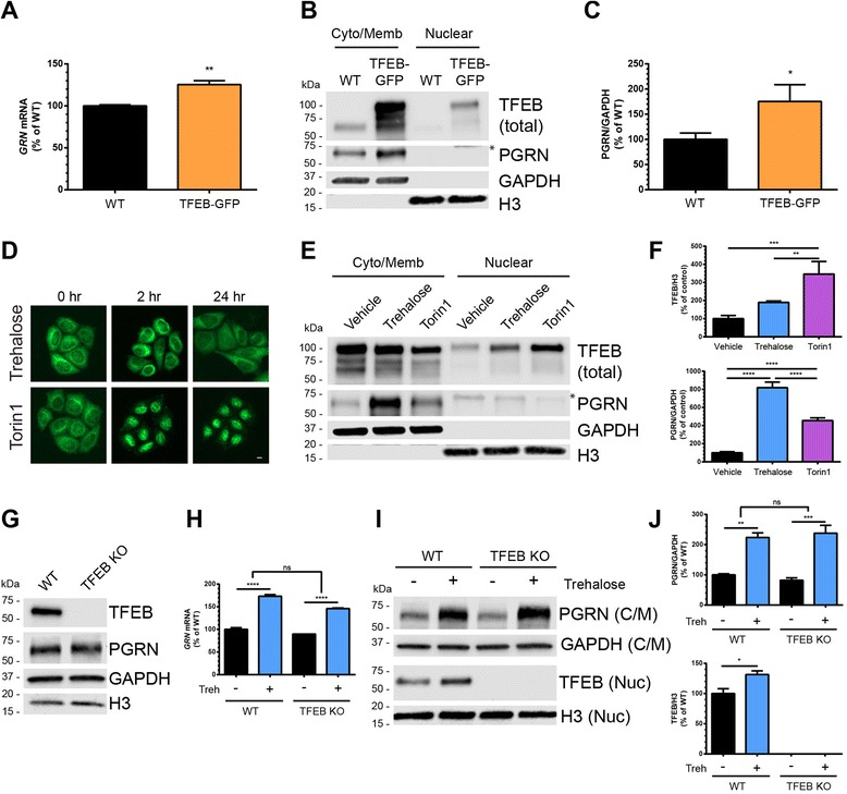 The transcription factor EB (TFEB) does not mediate trehalose-induced upregulation of PGRN. a GRN mRNA levels were quantified from wild-type HeLa (WT) cells or HeLa cells stably over-expressing TFEB-GFP (TFEB-GFP) ( n = 3 independent experiments run in duplicate). b WT or TFEB-GFP HeLa cells were fractionated into cytoplasmic/membrane and nuclear extracts and immunoblotted for total TFEB and PGRN. GAPDH and H3 were used to verify fractionation efficiency and were used as loading controls. Asterisk (*) denotes non-specific band in nuclear fraction. c Quantification of PGRN expression in WT or TFEB-GFP HeLa lysates in b. ( n = 3 independent experiments). d TFEB-GFP HeLa cells were treated with trehalose (100 mM) or Torin1 (250 nM) for 0, 2, or 24 h and imaged live with a fluorescent microscope to visualize TFEB-GFP localization. e TFEB-GFP HeLa cells were treated with vehicle, trehalose (100 mM), or Torin1 (250 nM) for 24 h and then fractionated into cytoplasmic/membrane and nuclear extracts and immunoblotted for total TFEB and PGRN. Asterisk (*) denotes non-specific band in nuclear fraction. f Quantification of nuclear TFEB (top) and cytoplasmic/membrane PGRN (bottom) from the immunoblots in e. ( n = 3 independent experiments). g Immunoblots from whole-cell lysates of HAP1 WT and TFEB KO cells showing absence of TFEB expression. h GRN mRNA levels were quantified from HAP1 wild-type (WT) and TFEB knock-out (TFEB KO) cell lines after treatment with vehicle or trehalose (100 mM) for 18 h ( n = 3 independent experiments run in duplicate). i HAP1 WT and TFEB KO cells were treated with vehicle or trehalose (100 mM) for 24 h and then fractionated into cytoplasmic/membrane and nuclear extracts. Immunoblots for PGRN (cytoplasmic/membrane) and TFEB (nuclear) are shown. j Quantification of PGRN (top) and TFEB (bottom) from the immunoblots in i ( n = 3 independent experiments). In all graphs, the bars represent the mean ± SEM. For a, c; *differs from WT, P