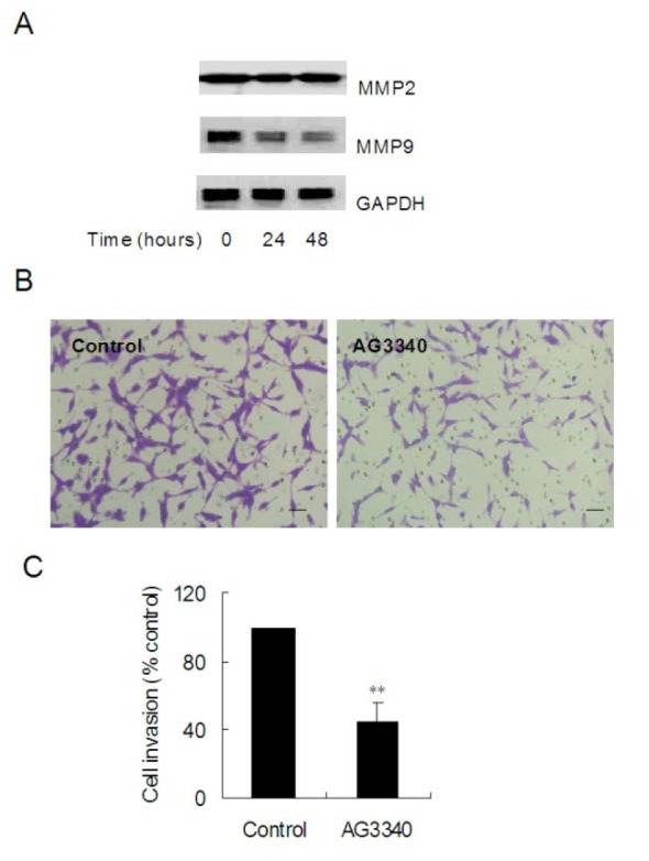 AG3340 impaired invasion of C6 glioblastoma cells. (A) Immunoblots of the MMP-2 and MMP-9 protein levels of cells treated with 20 μM LY294002 for 48 h. (B) Matrigel invasion assay of C6 cells pretreated with 100 μM AG3340 for 24 h (Scale bar = 50 μM). (C) Statistical analysis of three independent experiments in panel B. The data are mean ± SD (n=3). * p