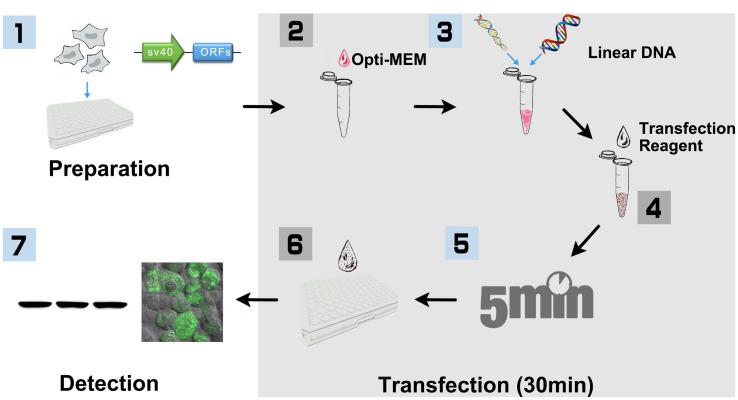 Workflow of PCR product based HEK293 cell transfection (96-well-plate format with Lipofectamine 2000). (1) HEK293T cells were cultured in DMEM medium supplemented with 10% FBS and 100 U/ml penicillin, and 100 mg/ml streptomycin under the condition of 37°C, 5% CO 2 . Cells were seeded into 96-well-plate for ∼24 h before transfection. At the same day, SV40 promoter and plant ORF were amplified, respectively, with primers that include 15 bp of overlap sequence. The linear DNA including SV40 promoter and plant ORF were then generated with overlap PCR, purified and quantified for transfection. (2) HEK293T cells were cultured until 80–90% confluence is reached. Added 10 μl Opti-MEM into a sterile tube. (3) Added 0.2 μg linear DNA and vortex. (4) Added 0.6 μl Lipofectamine 2000 and vortex. (5) Incubated at room temperature for 5 min. (6) Added the mixture to 96-well-plate, 10 μl per well, and shook the plate gently. (7) After incubation for 16–32 h, cells were then collected and lysed for Biochemistry assay.