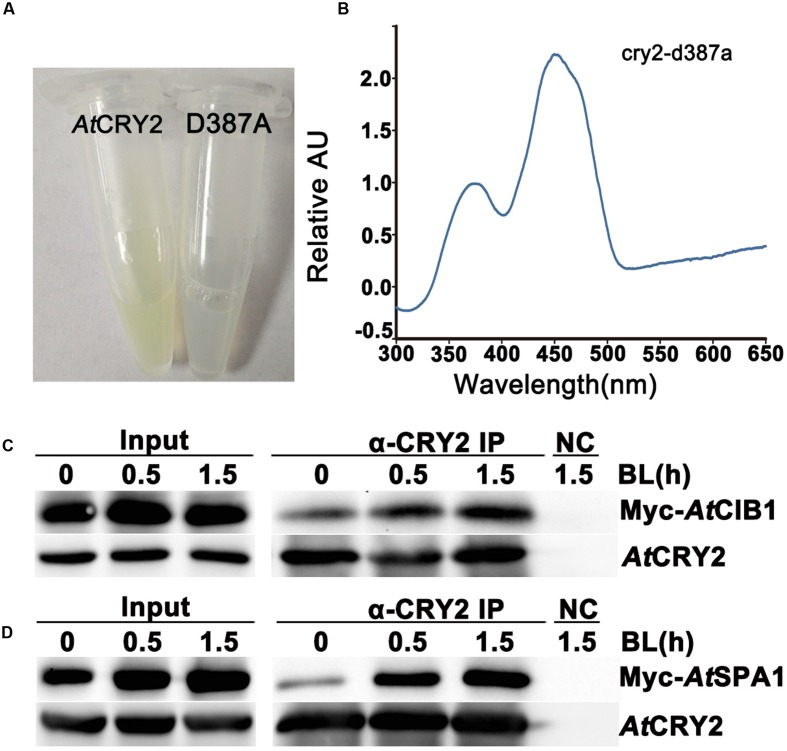 Biochemical analysis of Arabidopsis CRY2 expressed in HEK293T cell. (A) For expression and purification of the recombinant protein, 6xHis-AtCRY2 and 6xHis-AtCRY2 D387A were transfected with Calcium Phosphate, respectively. After 24 hours of incubation, cells were collected and lysed. Recombinant AtCRY2 and AtCRY2 D387A were purified with Ni-NTA agarose beads. The AtCRY2 exhibited a faint yellow color after enrichment. (B) The absorption spectrum of recombinant AtCRY2 and AtCRY2 D387A were detected by a full-length spectrophotometer, and the related absorption curve was calculated by the following equation: [absorption of CRY2 - absorption of CRY2 D387A ]. (C,D) Co-IP analysis showing blue light dependent interaction of AtCRY2–AtCIB1 (C) and AtCRY2–AtSPA1 (D) in mammalian cells. The HEK293T cells co-transfected with AtCRY2–AtCIB1 or AtCRY2–AtSPA1 were incubated in dark condition. Cells were irradiated with blue light (50 μmol m -2 s -1 ) for indicated time before harvest. Total protein extraction and immunoprecipitation (IP) product prepared by AtCRY2 antibody were first probed with AtCRY2 antibody, stripped, and re-probed with Myc antibody.